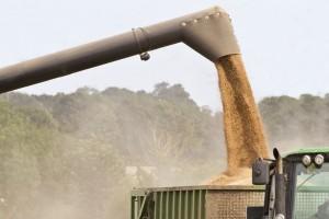 Raccolta del grano e delle sementi