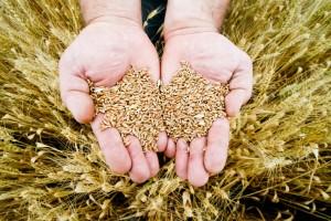 Raccogliere il grano con amore